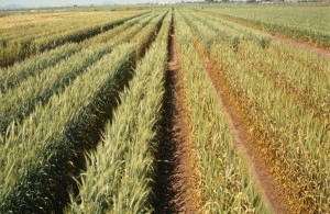 wheat cultivation helmand